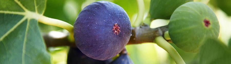 Le Ficus carica ou figuier commun : plantation, taille et entretien