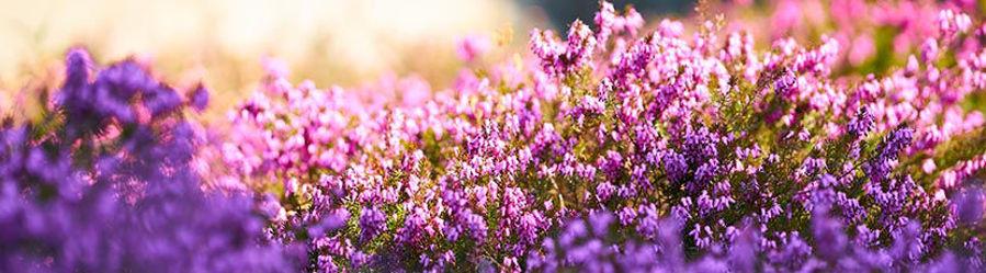 Les bruyères : des couleurs de l'été à l'hiver
