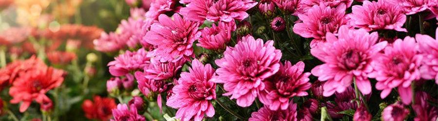 Le chrysanthème : origine, variétés et entretien